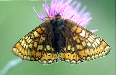 CLICK HERE FOR A LARGE PICTURE OF A MARSH FRITILLARY - BEWARE, LONG DOWNLOAD TIME.