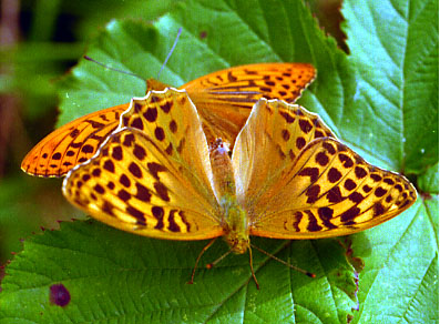 CLICK HERE FOR A LARGE PICTURE OF SILVER WASHED FRITILLARIES - BEWARE, LONG DOWNLOAD TIME>
